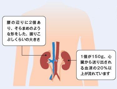 西陣病院、腎臓について